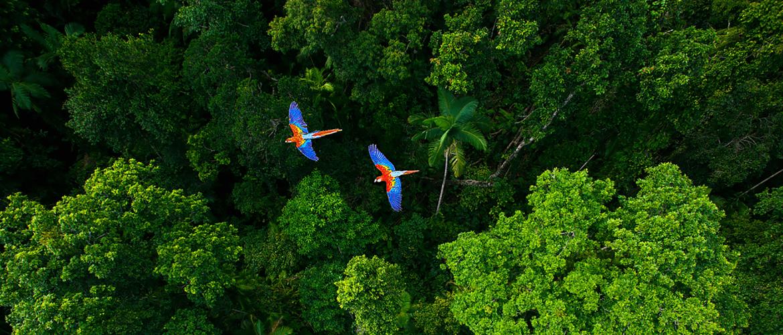 Une vue aérienne d'une forêt amazonienne verdoyante survolée par deux oiseaux au pelage jaune et bleu..